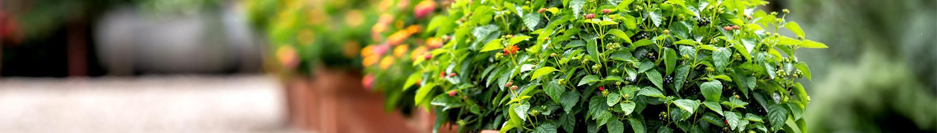 roślina ozdobna